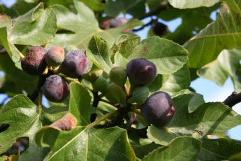 Our figs