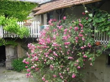 Balcony rose bush in bloom