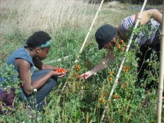 Lavinia and Ines picking tomatoes